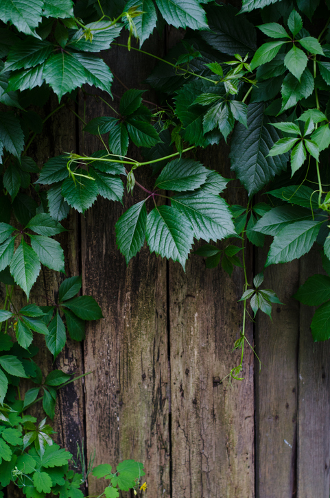 Growing Fence Friendly Vines